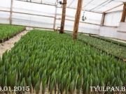 Тюльпаны оптом 8 марта